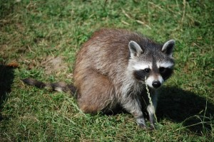 raccoon-1000382 1280